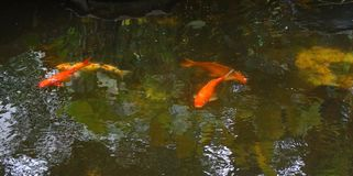 Dancing in the water. 4 colorful carp fish swimming in beautiful pattern like dancing in the dark green water pond royalty free stock photo