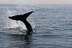 Dancing Whale Stock Photography
