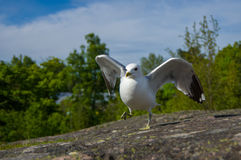 Dancing white and grey seagull on granite stone Royalty Free Stock Photos