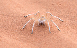 Dancing White Lady Spider, Namibia, Africa Royalty Free Stock Photo