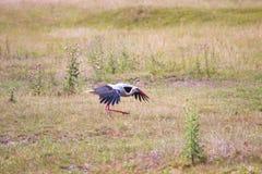 Dancing white stork. Beautiful gallant shadoof play hop Royalty Free Stock Image
