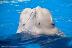 Dancing white whales couple. Dancing white whales belugas couple in the water stock photos