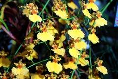 Dancingowej damy orchidea zdjęcia royalty free