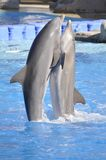 dancingowi delfiny Fotografia Royalty Free