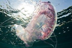 dancingowi jellyfish Obrazy Stock