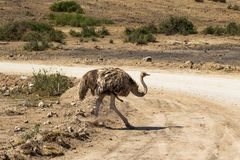 Dancingowy żeński struś Sawanna Amboseli, Kenja Fotografia Stock