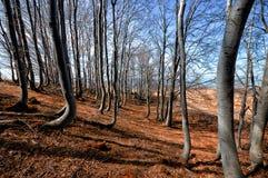Dancingowy bukowy las obraz royalty free