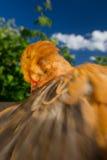 Dancingowy Czubaty kurczak z rozszerzania się skrzydłem Zdjęcia Stock