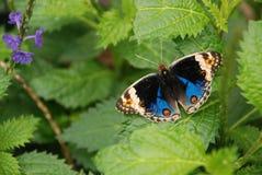 Dancingowy motyl Fotografia Stock