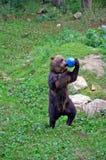 Dancingowy niedźwiedź Obraz Stock
