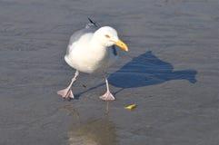 Dancingowy Seagull Fotografia Royalty Free