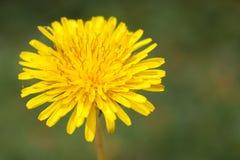 Dandalion amarillo Fotografía de archivo libre de regalías