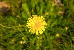 Dandalion jaune Image libre de droits