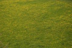 dandelion łąka Obrazy Royalty Free