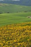 dandelion łąka Fotografia Stock