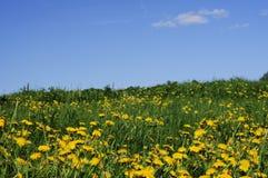 dandelion łąka Zdjęcia Royalty Free