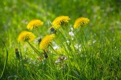 Dandelion łąka Fotografia Royalty Free