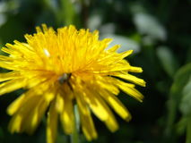 Dandelion łąka Zdjęcie Stock