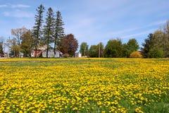 Dandelion łąka w wsi Zdjęcie Royalty Free