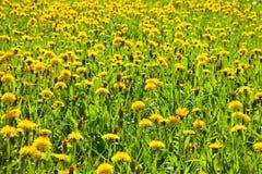 Dandelion łąka z kolorów żółtych kwiatami i zieloną trawą Obraz Stock