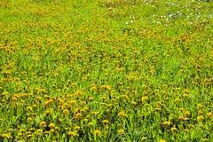 Dandelion łąka z kolorów żółtych kwiatami i zieloną trawą Zdjęcia Stock