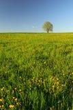dandelion łąki drzewo Fotografia Royalty Free