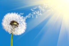 dandelion światło słoneczne Zdjęcie Stock