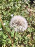 Dandelion świrzepa z nietkniętymi nasieniodajnymi strąkami zdjęcia stock