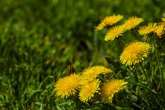 Dandelion żądła naga zielona łąka obrazy royalty free