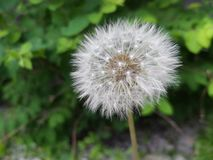 Dandelion - Одуванчик - Flower - Цветок stock image