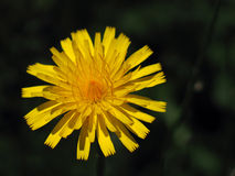 Dandelion. A single, vivid dandelion.  Even weeds can be beautiful Royalty Free Stock Image