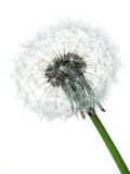 Dandelion. A Dandelion against a white background Royalty Free Stock Photography