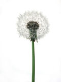 Dandelion. A Dandelion against a white background Royalty Free Stock Images
