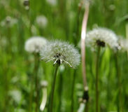 Dandelion. A beautiful dandelion in the green grass stock photo
