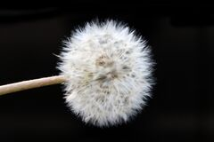 Dandelion 1 Royalty Free Stock Images
