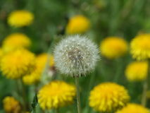 Dandelion. Growing on Kamchatka Royalty Free Stock Photos