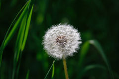 Dandelion. On soft green grass background stock photography