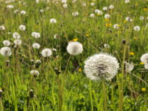 Dandelion. Meadow in the village Royalty Free Stock Image