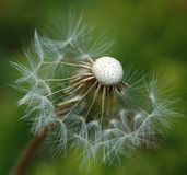 Dandelion. In the spot off stars Royalty Free Stock Photos