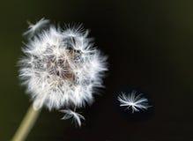 Dandelion. Dispersing seeds against dark background. selective focus Stock Photography