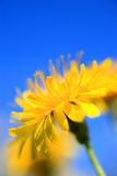 Dandelion. A picture with dandelion and summer feeling Stock Photos