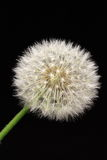 Dandelion. On a black background Stock Photo
