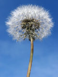 Dandelion. A dandelion in front of the sky Stock Photo