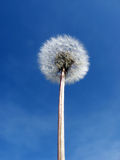 Dandelion. A dandelion in front of the sky Royalty Free Stock Photos