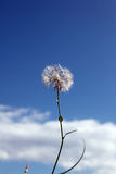 Dandelion. White dandelion on blue sky and white clouds Royalty Free Stock Photos