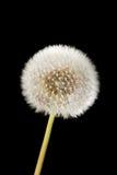 Dandelion. On a black background royalty free stock image