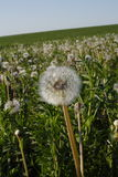 Dandelion. In the huge field under the blue sky Stock Images