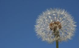 Dandelion. On a background of blue sky Royalty Free Stock Image