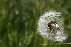 Dandelion. Seed head on meadow background Stock Photo