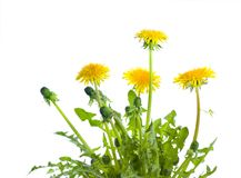 Dandelion. Beautiful Dandelions Border.Studio isolated stock image